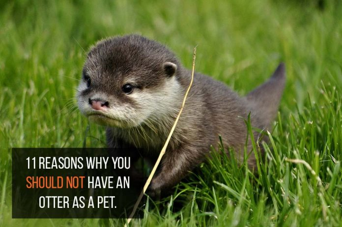 otter as pets