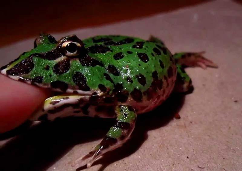 pacman frog bite