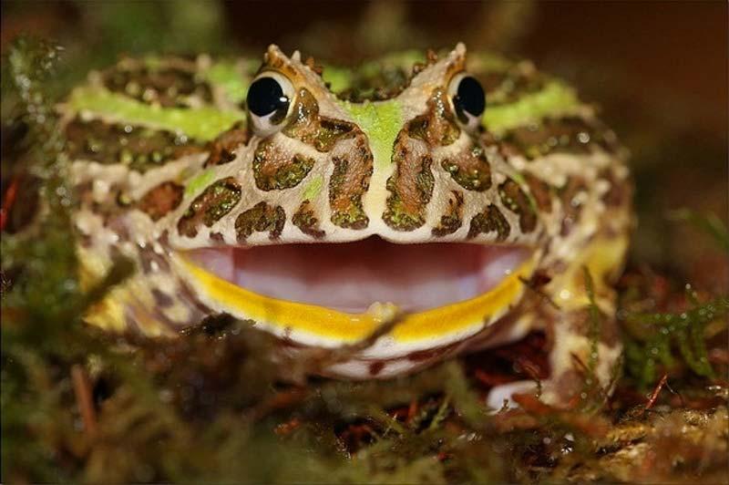 pacman frog teeth
