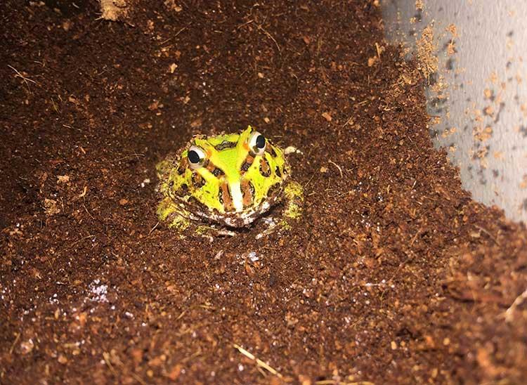 pacman frog burrowing