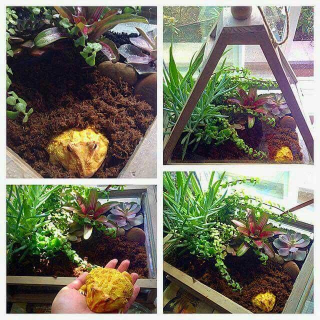 pacman frog terrarium