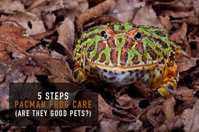 pacman frog on leaves