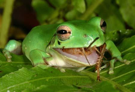 green tree frog eating
