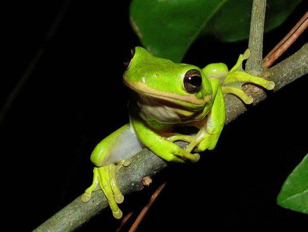 green tree frog on tree