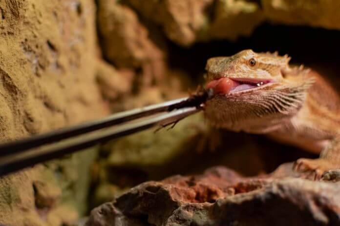 bearded dragon eating crickets