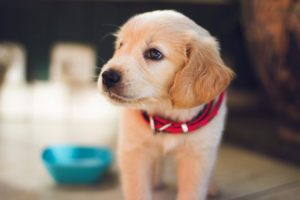 close-up of labrador retriever puppy looking in the distance
