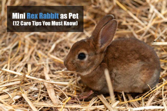 mini rex rabbit care