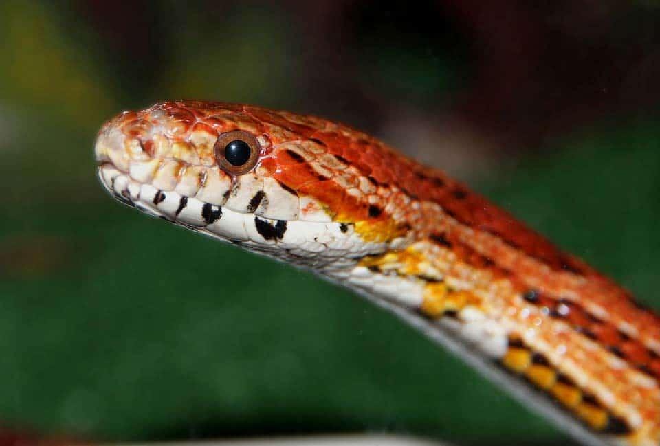 corn snake close up
