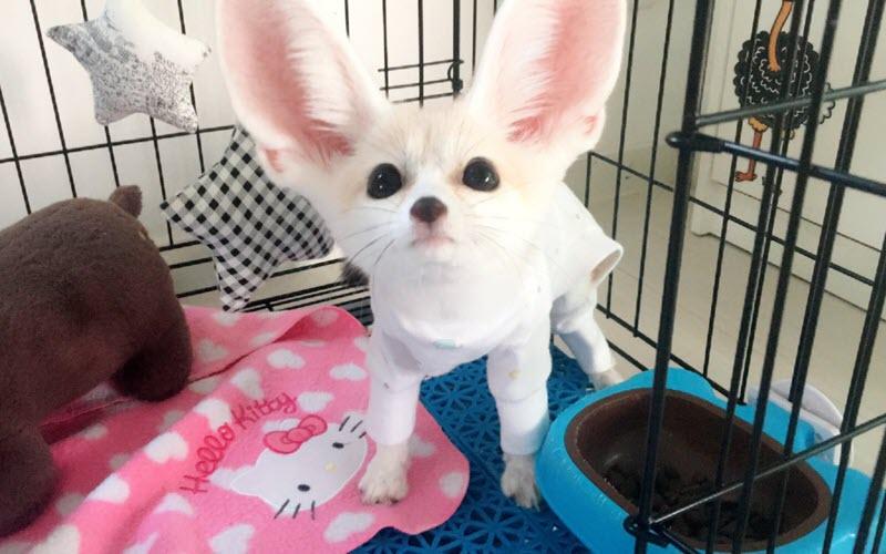 Cute Fennec Fox - ExoPetGuides.com