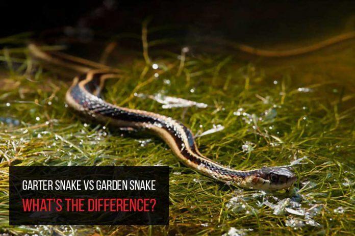 garter snake or garden snake