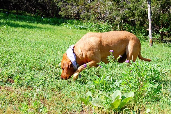 easter egg hunting dog