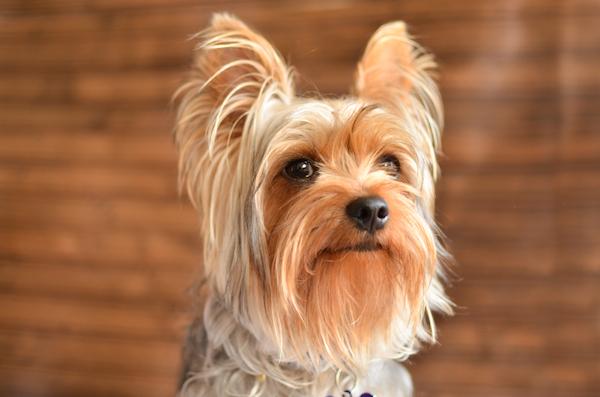 Yorkshire Terrier.