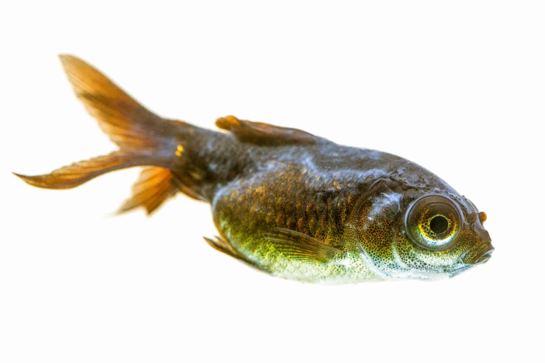 Dropsy Fish