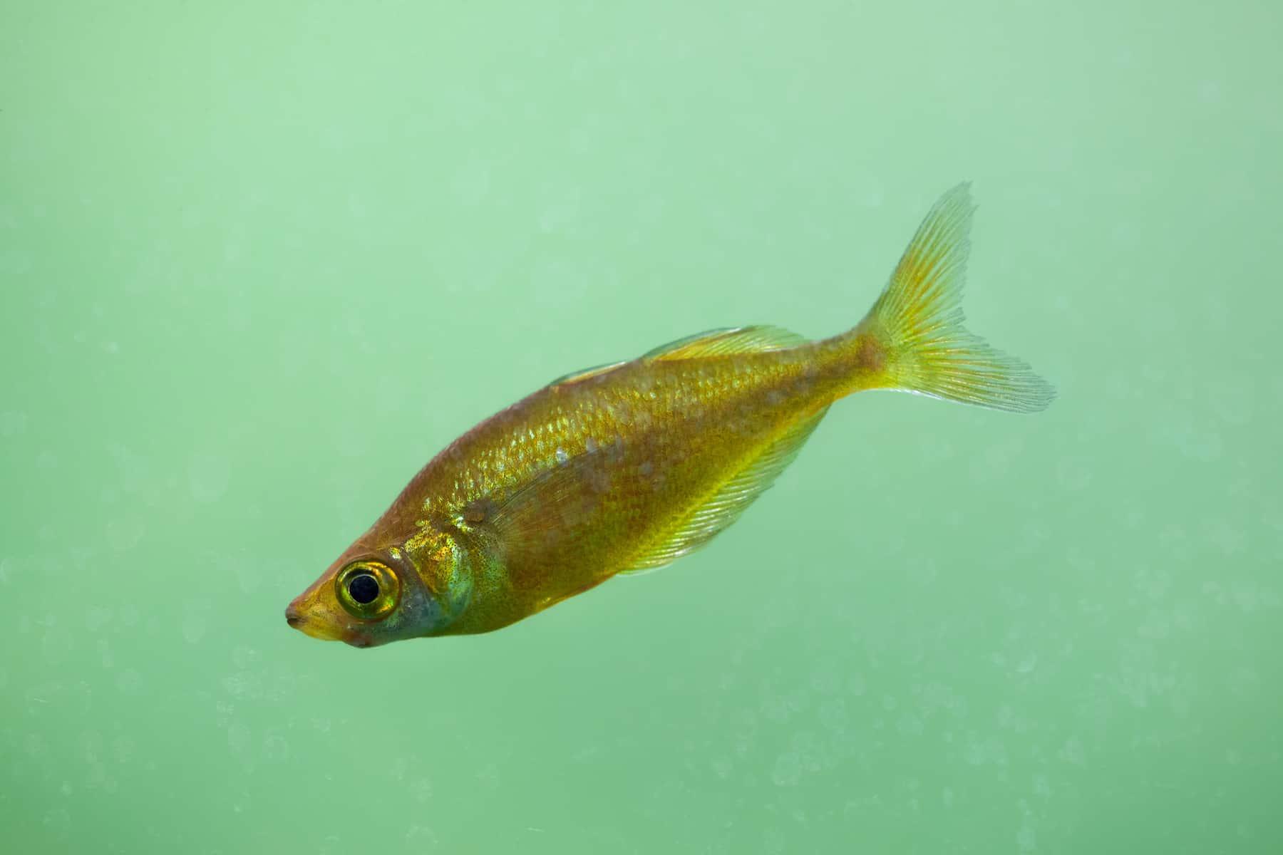 Red Rainbow Fish