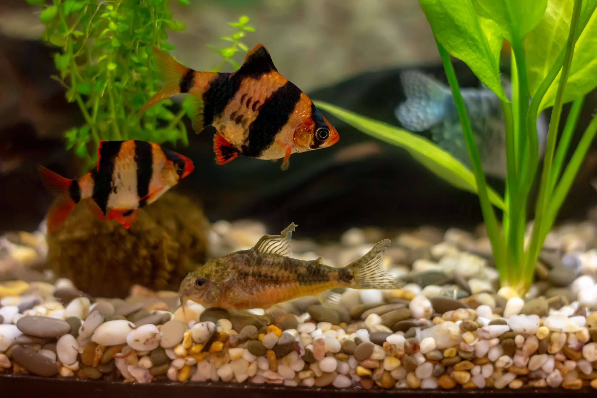 Tiger Barbs