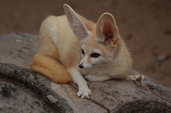 fennec fox resting