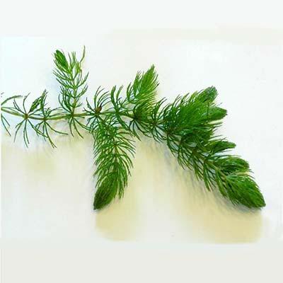 hornwort for aquascaping