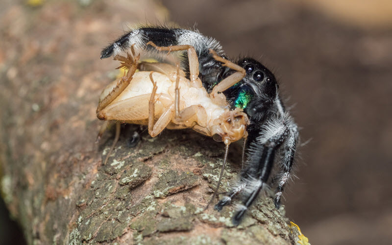 Jumping Spider eating Crickets - exopetguides.com