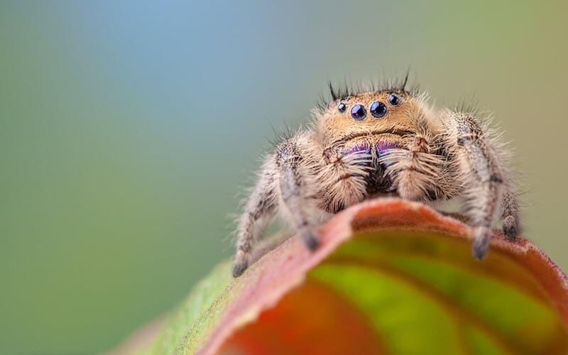 Phidippus Jumping Spider - ExoPetGuides.com