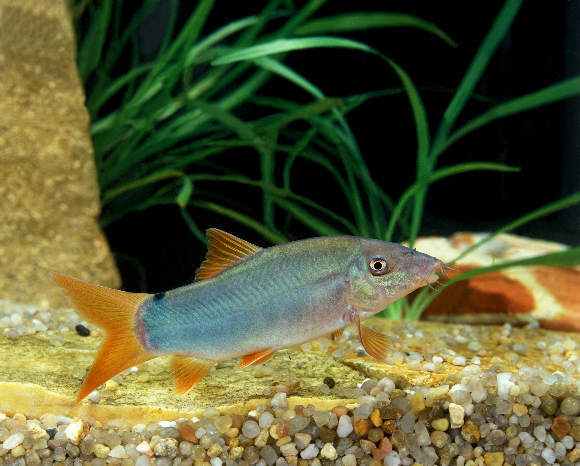 Redtail Loach