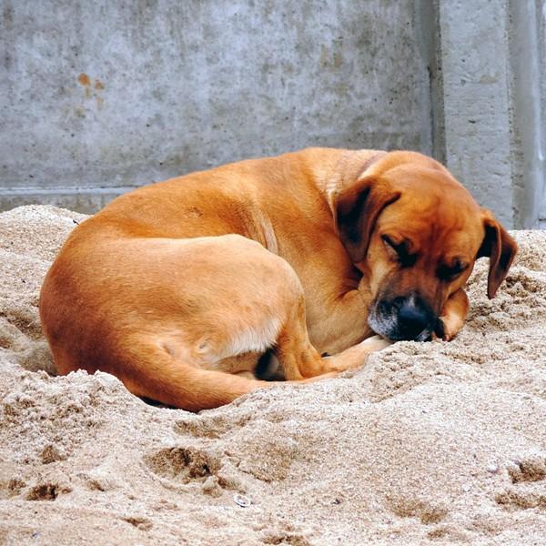 A dog asleep and looking comfortable.