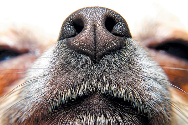Close up of a dog's nose.