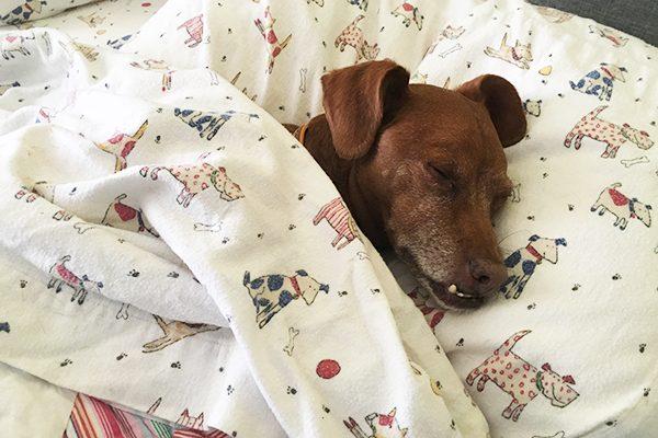 A sleeping dog tucked into bed.