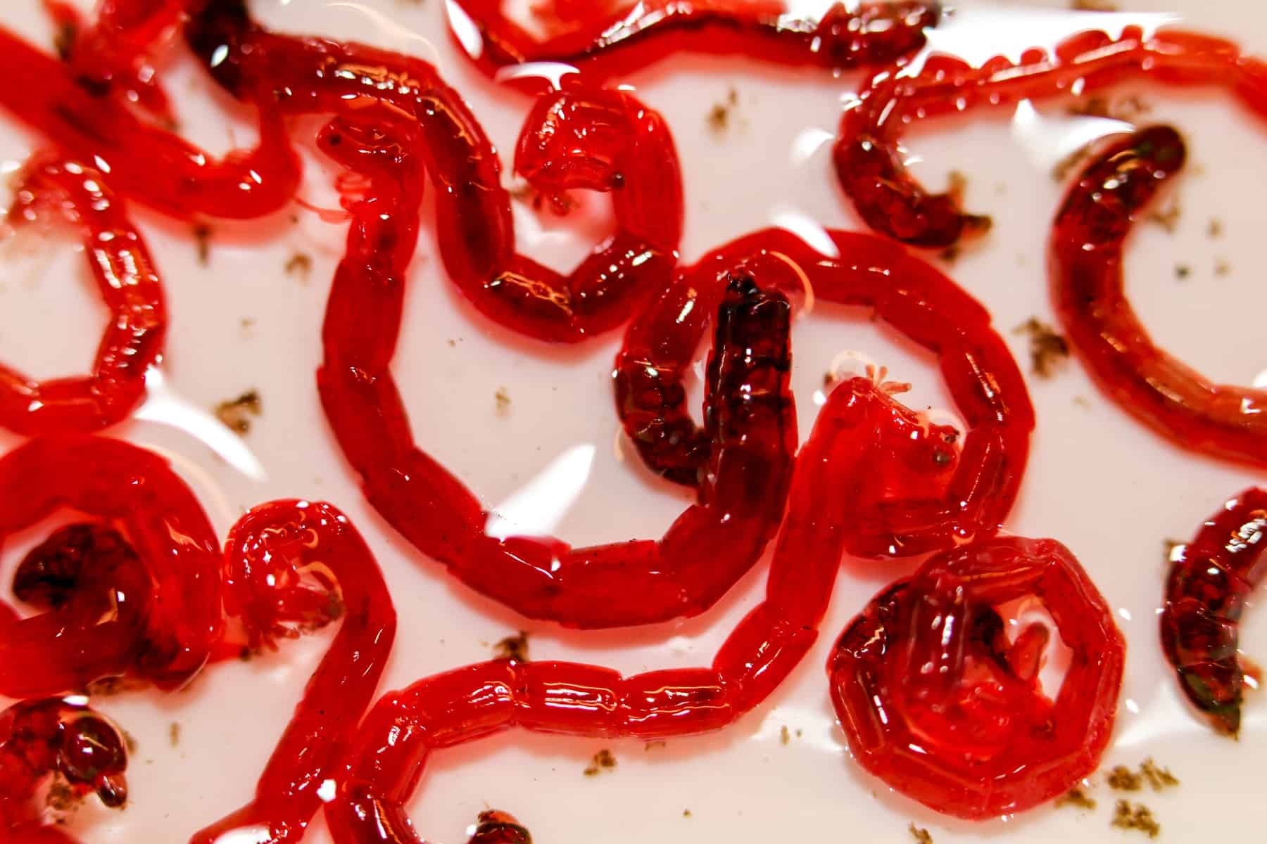 close up shot of bloodworms