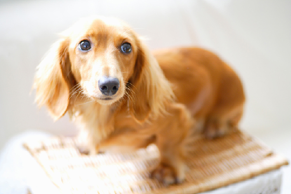 Miniature Dachshund dog breed.