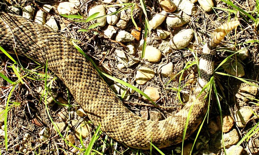 autumn dog walks-rattlesnake-rattle