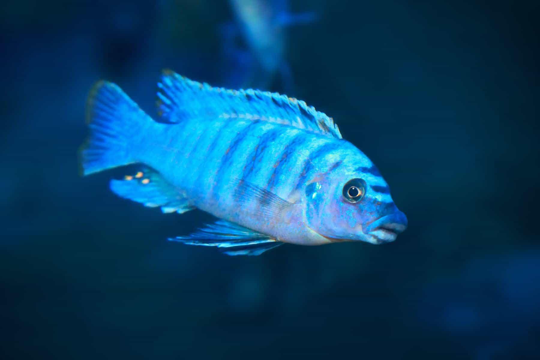 electric blue hap fish swimming in freshwater aquarium