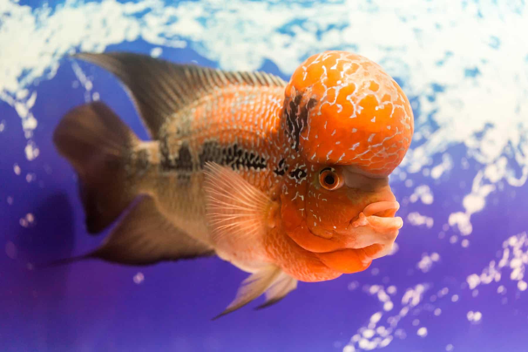 flowerhorn in a big aquarium