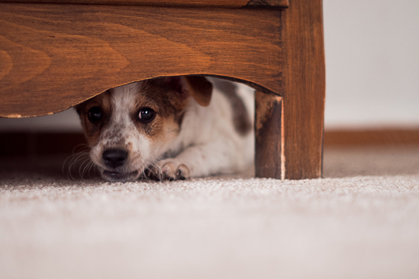 A scared dog hiding under a bed.