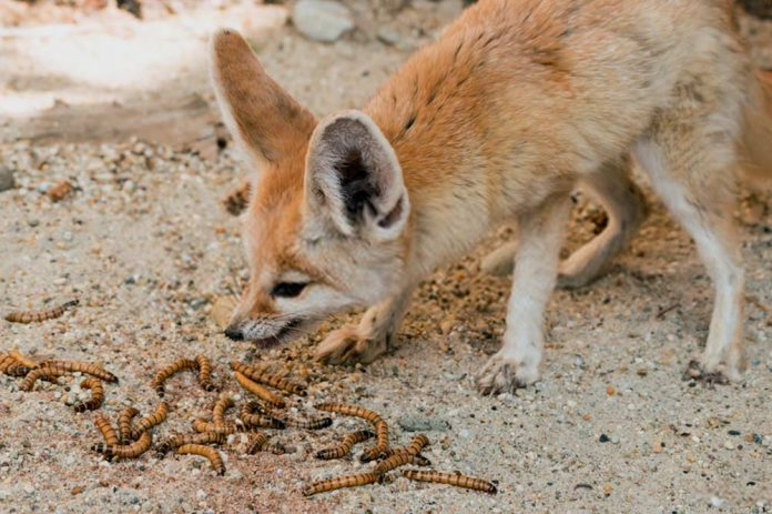 fennec fox eating