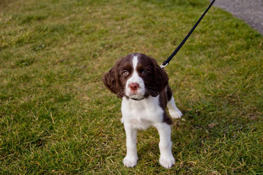 English Springer Spaniel Puppy dog walking