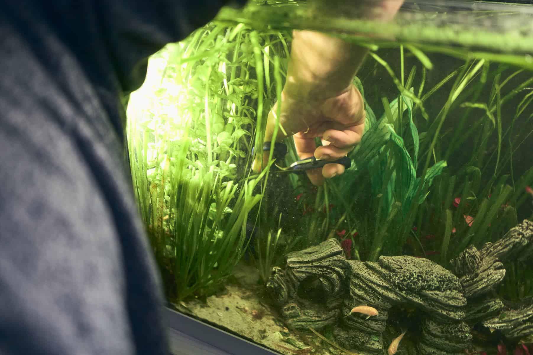 fishkeeper trimming aquatic plants with black beard algae