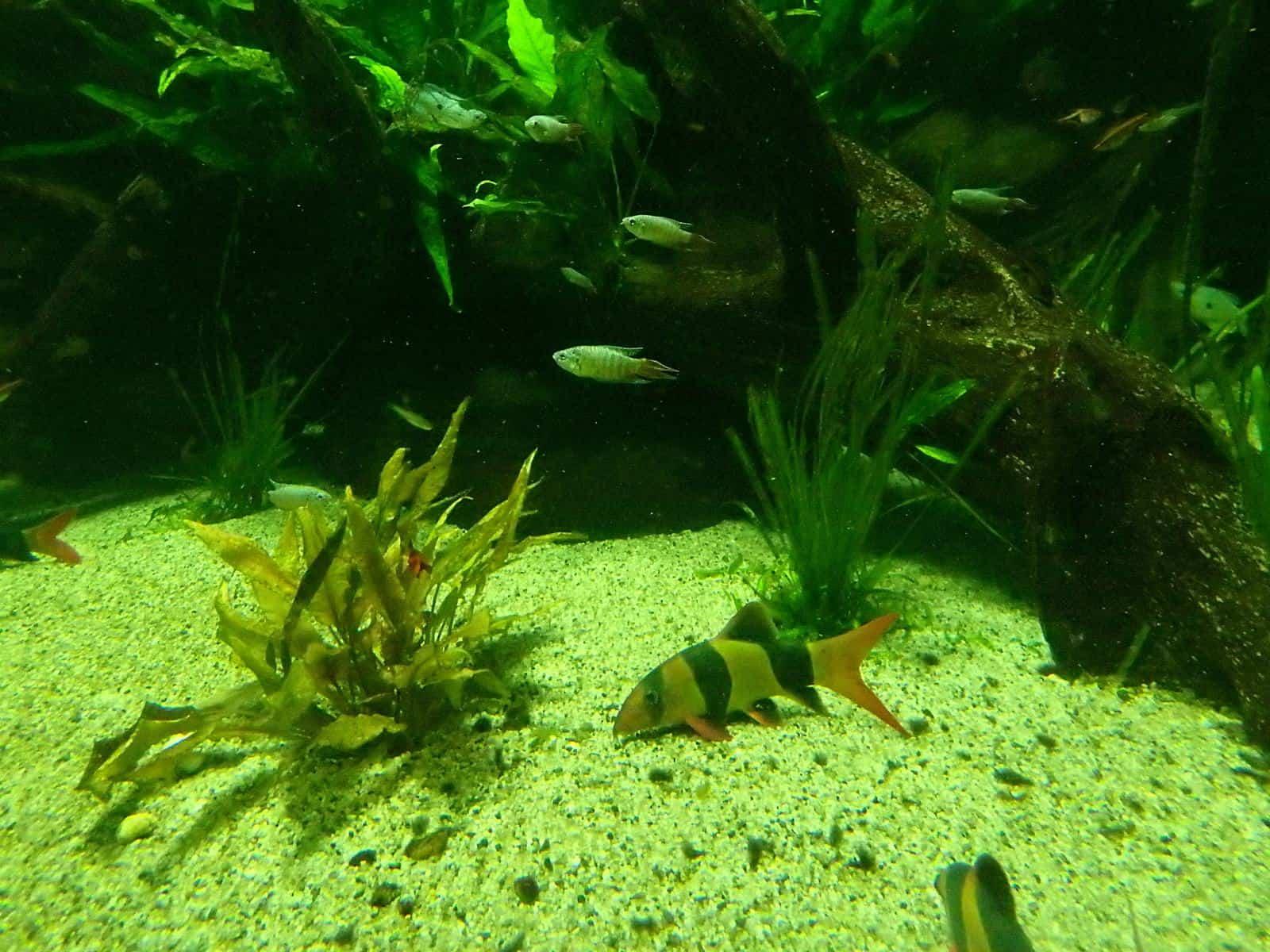 polluted aquarium with blue green algae