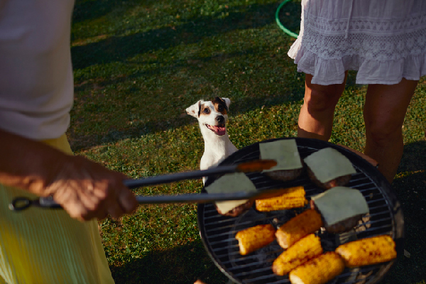 A dog looking at corn and burgers at a cookout.