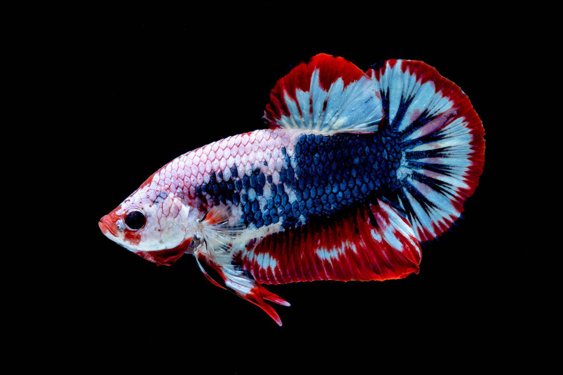 betta fish with columnaris