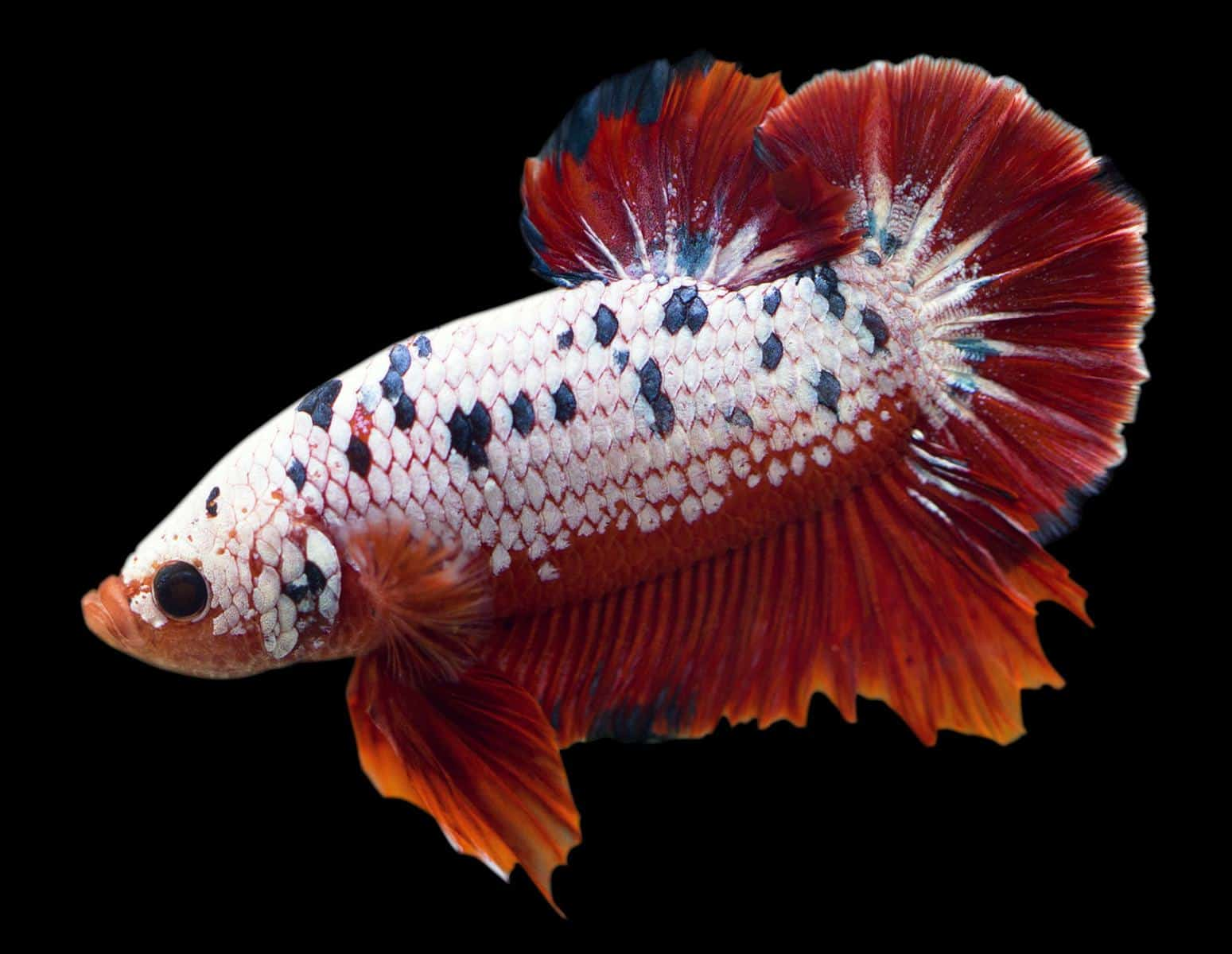 red betta with columnaris
