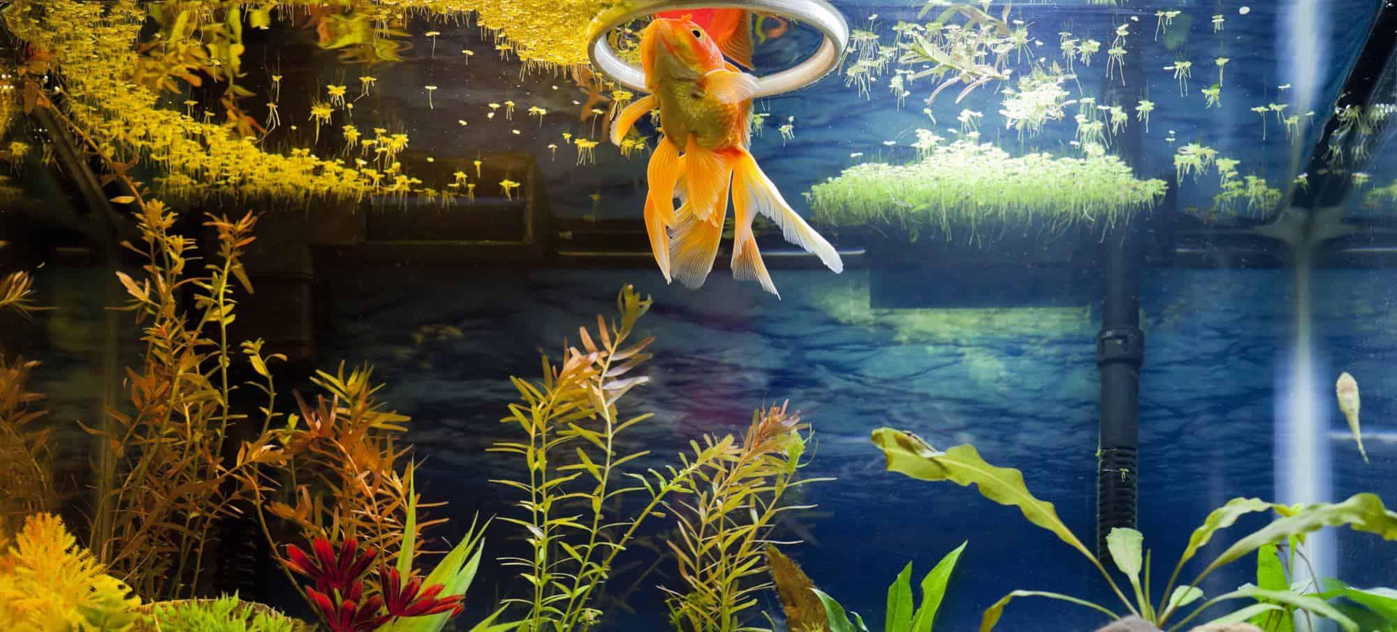 duckweed on top of aquarium