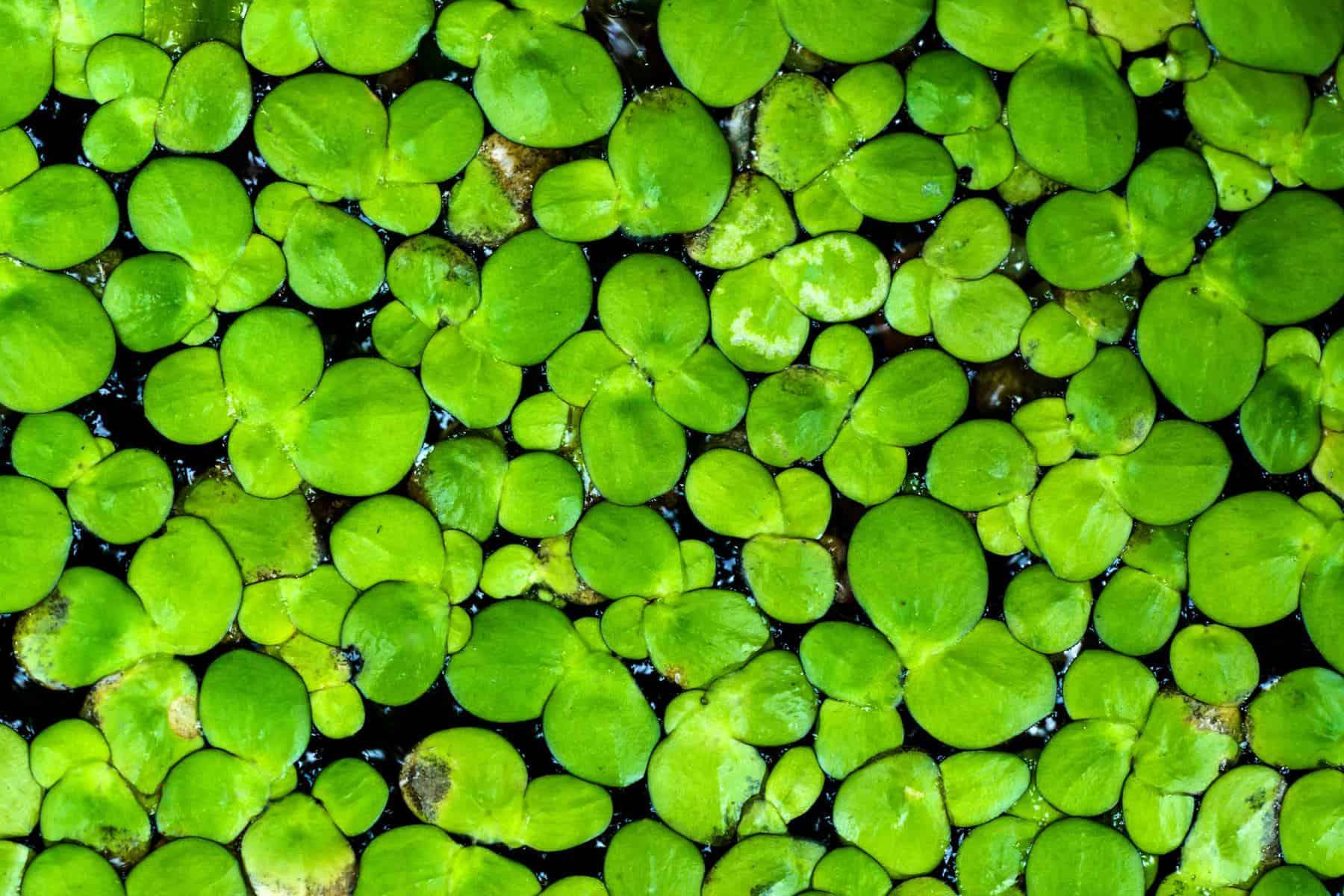 macro shot of duckweed