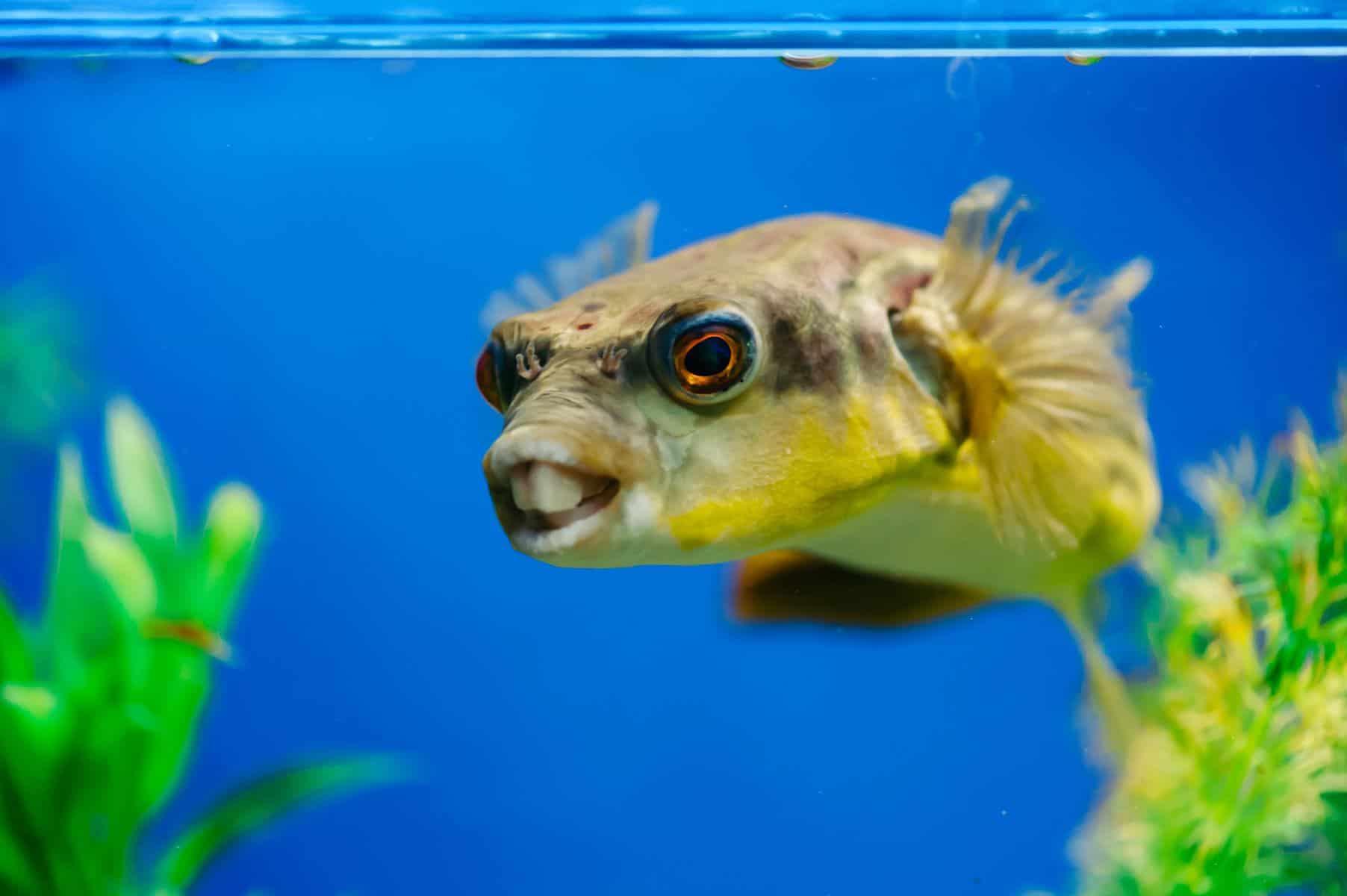 tetraodon lineatus in aquarium