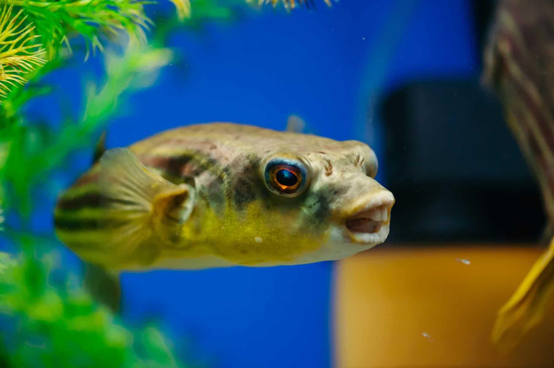 fahaka pufferfish floats in the aquarium