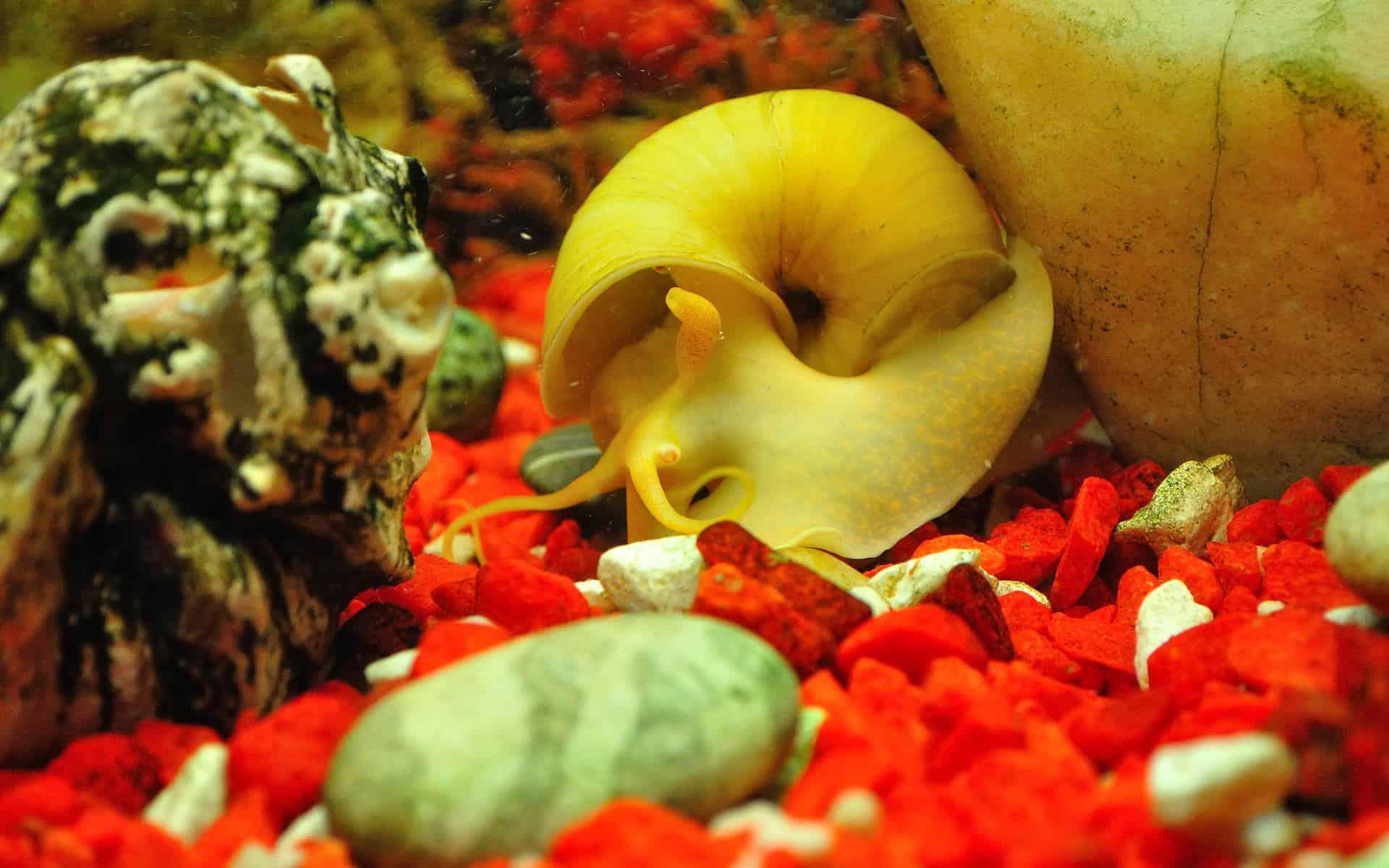 gold inca snail hiding