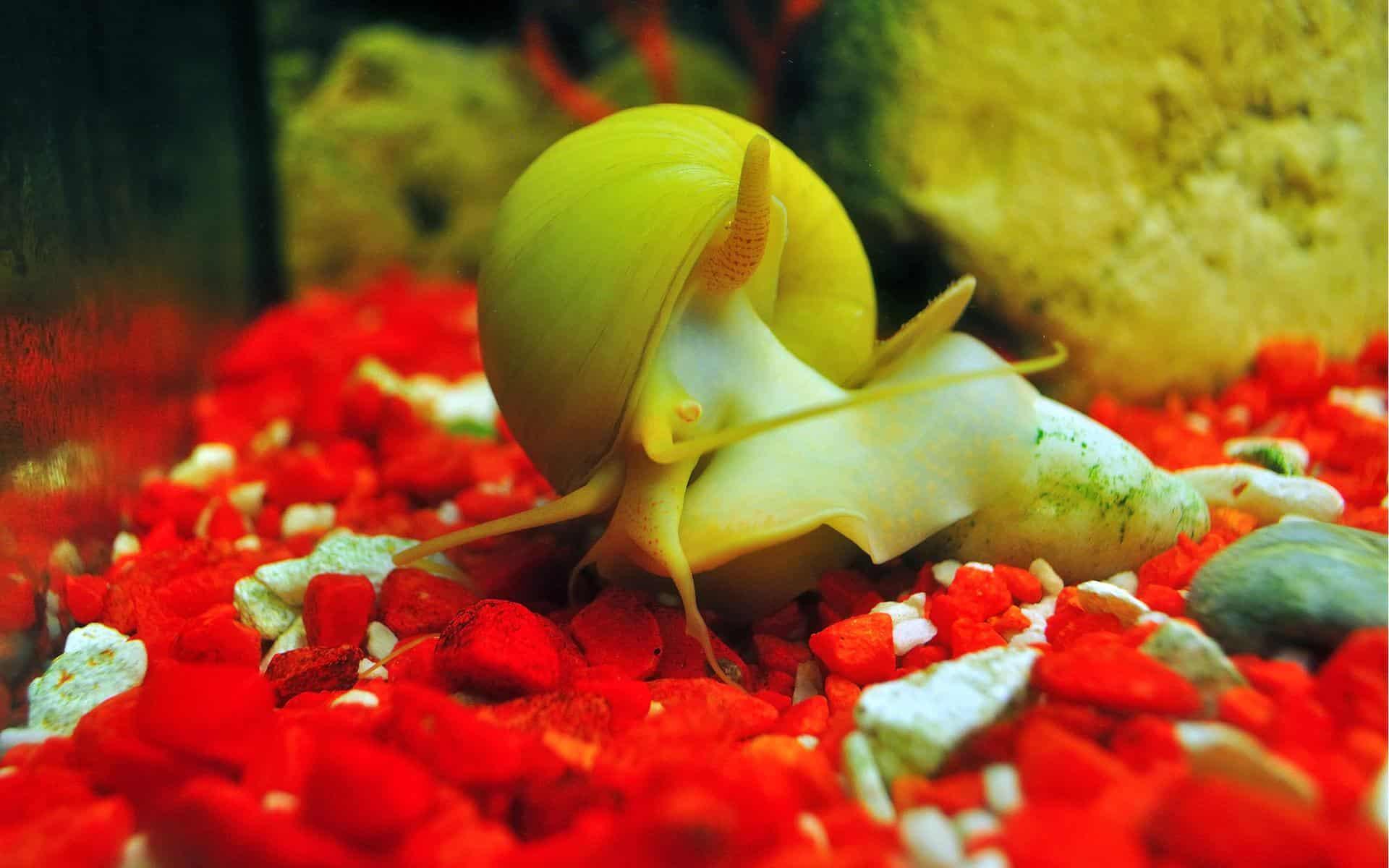 gold inca snail crawling