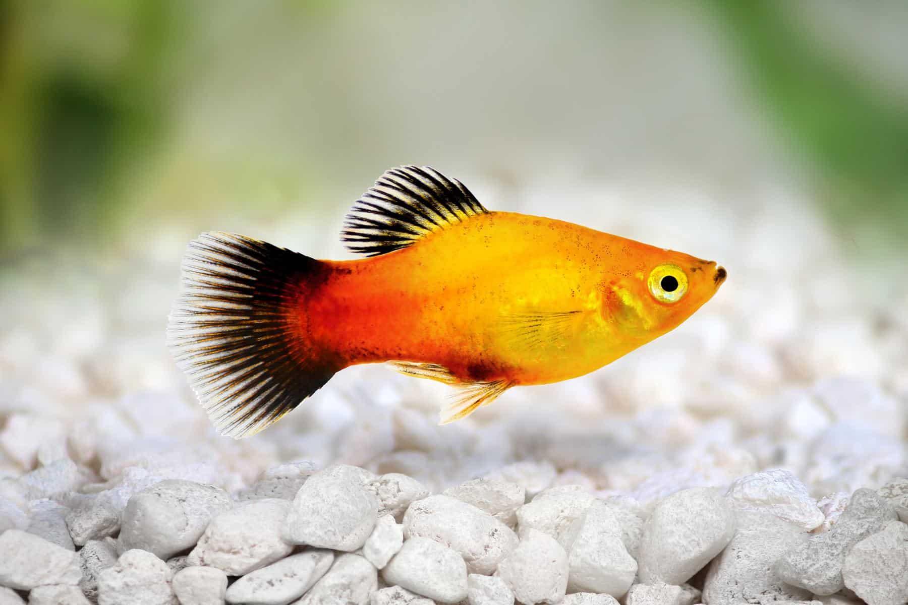 sunburst platy fish