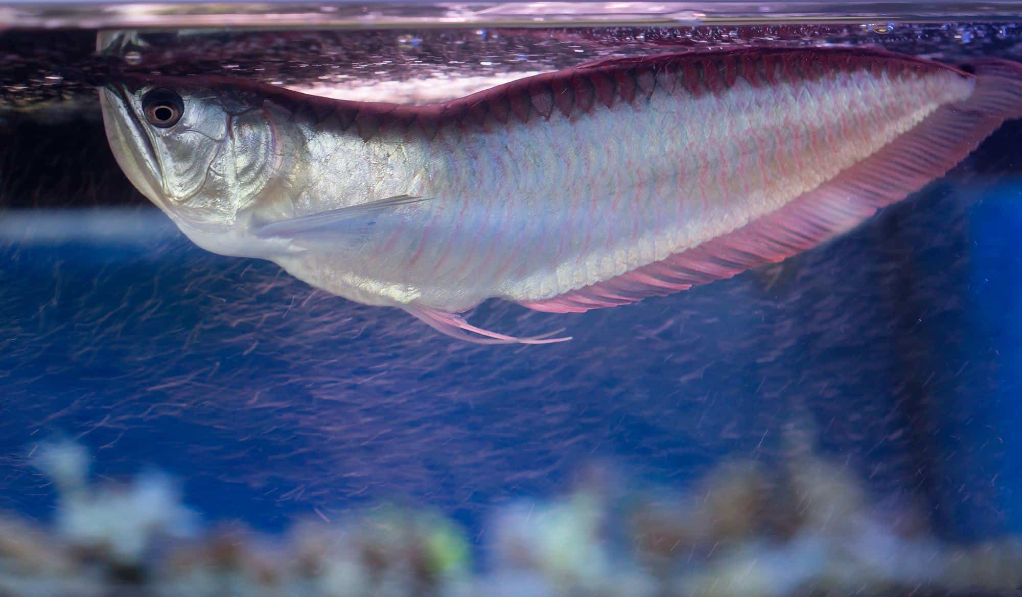 silver arowana in aquarium