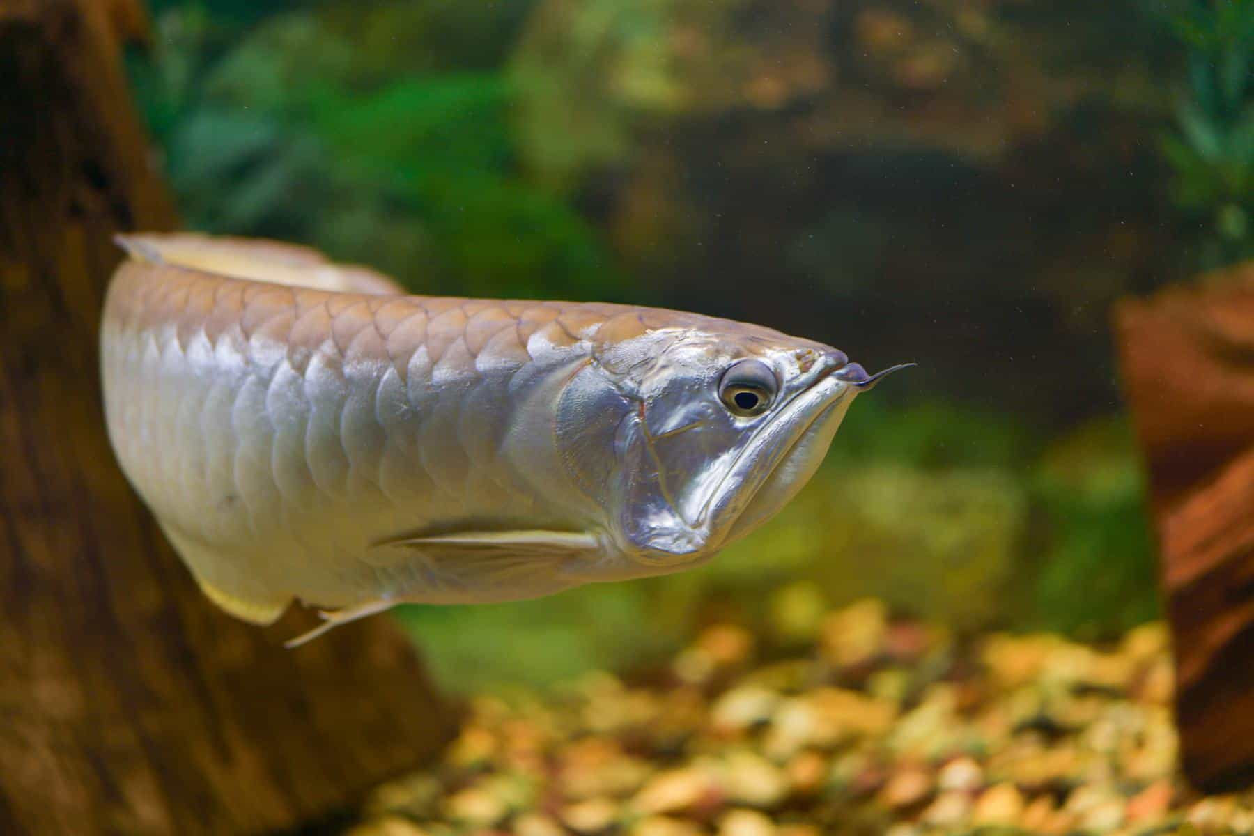 silver arowana fish swimming alone in tank