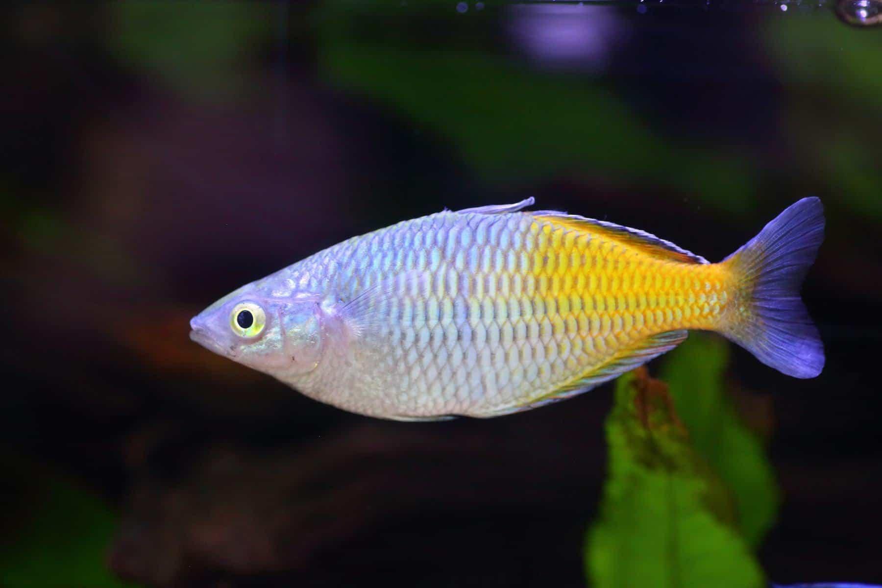 Boesemani Rainbowfish in aquarium